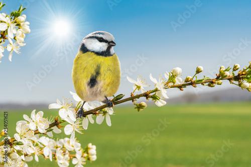 Leinwanddruck Bild Der Frühling ist da! Meise sitzt auf blühendem Zweig vom Weißdorn