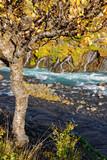 Birke (Betula) im Herbstkleid, Hraunafossar, Island
