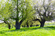 Leinwandbild Motiv Mulberry trees with young leaves on a green meadow. Sunny Spring Day. Resting place under the shade of the trees.