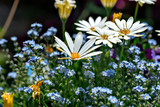 Marguerite and forget-me-not in garden