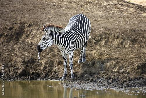 Cebra bebiendo agua en temporada de sequía en el Parque Nacional de Mikumi en Tanzania, Africa del Este - 254137839