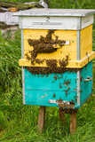 large numbers of bees at the entrance to the hive