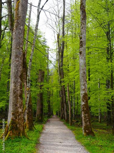 Path in birch forest in spring