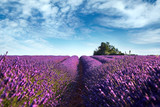 Blooming field of lavender flowers, blue sky with white clouds, France