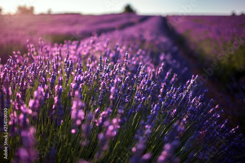 Field of lavender flowers, blossoming plant - 254170020