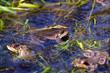 agile frog, rana dalmatina, mating