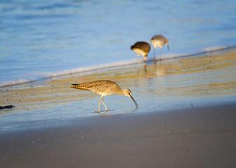 Whimbrel (Numenius phaeopus), Refugio State Beach, Goleta, CA.