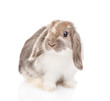 Lop-eared fluffy rabbit looking at camera. isolated on white background