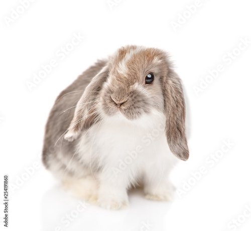 Lop-eared fluffy rabbit looking at camera. isolated on white background © Ermolaev Alexandr