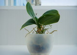 orchid transplant
