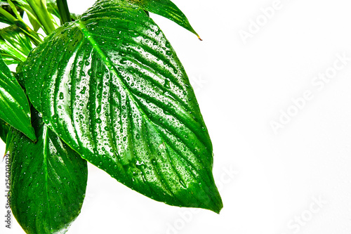 Spathy Fillum, leaves on a white background. Drops of water on leaves, large leaves - 254203029