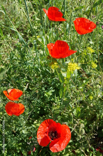 ed wild poppies in the Crimea - 254206486