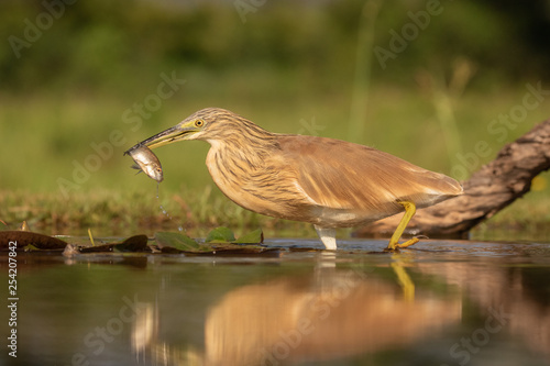 Squacco heron in the wild