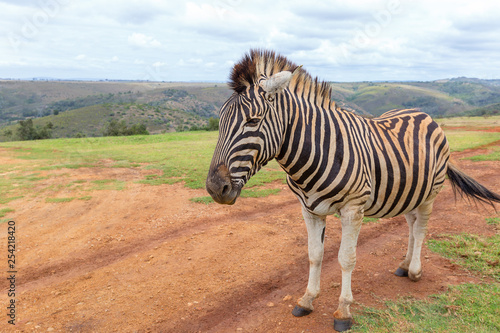 plains zebra close up detail - 254218420