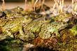 green frogs take a sunbath in early spring