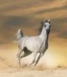 Arabian horse in desert