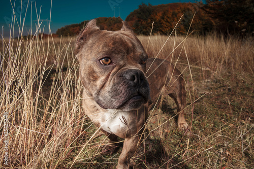 obraz lub plakat side view of American bully standing in a field