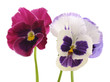 Three blue violets.
