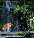Roaring tiger standing front of waterfall
