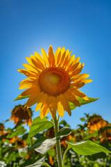 Single Sunflower in field