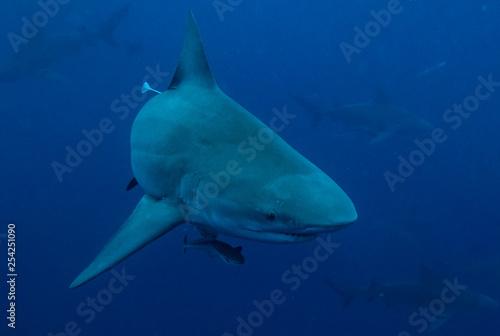 obraz PCV Bull Shark in Florida