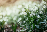 Snowdrop flowers in the evening, blurry background