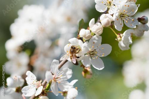 Biene auf der Blüte des Birnbaums