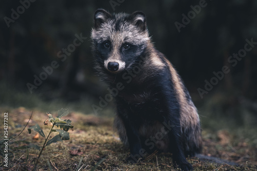 obraz PCV Raccoon dog