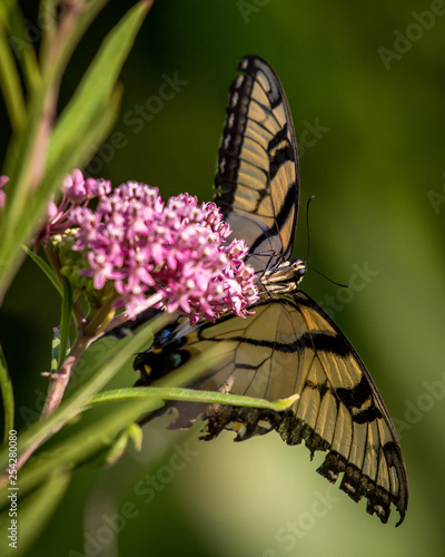 Tiger Swallowtail butterfly - 254280080