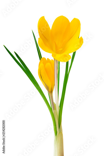 Beautiful yellow crocus on a white background - fresh spring flowers. (selective focus)