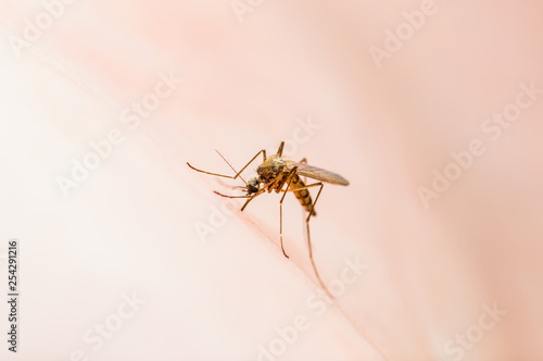Encephalitis, Yellow Fever, Malaria Disease or Zika Virus Infected Culex Mosquito Parasite Insect Macro - 254291216