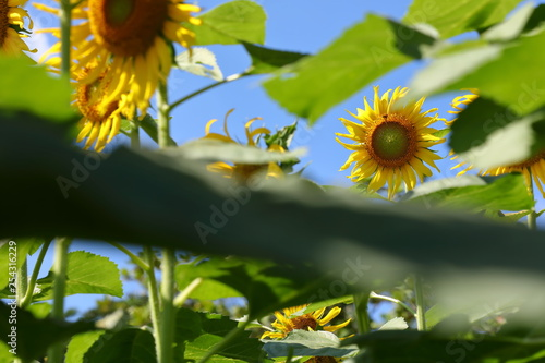 beautiful sunflower blossom blooming in nature