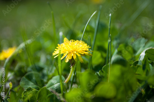 Yellow dandelion in the grass. - 254321088