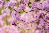 Pink azalea blooms in spring