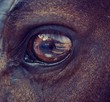horse eye close-up. in the eye of the horse is a reflection of the photographer