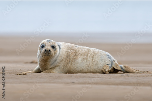 obraz PCV Atlantic Grey Seal Pup (Halichoerus grypus) on Lincolnshire coast