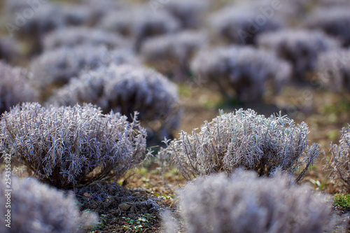 Lavender bushes in the spring - 254355822