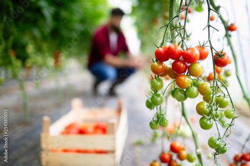 Ripe organic tomatoes growing on a branch in a greenhouse