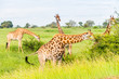 Leinwanddruck Bild - Wild giraffes in african savannah. Tanzania. National park Serengeti