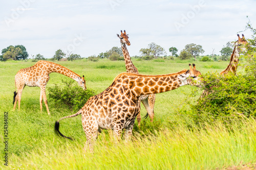 Leinwanddruck Bild Wild giraffes in african savannah. Tanzania. National park Serengeti