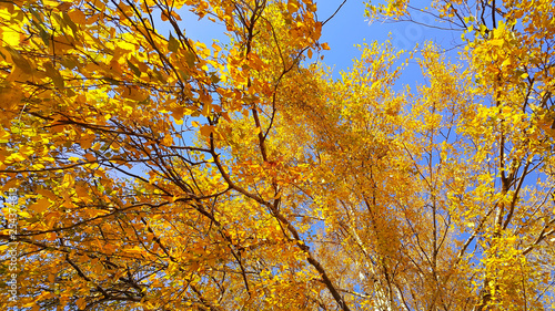 obraz lub plakat Branches of autumn birch tree with bright yellow foliage