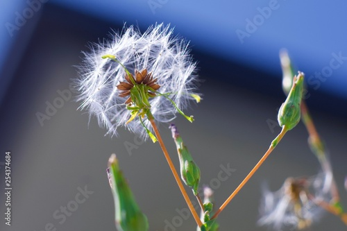 dandelion on background of blue sky - 254374684