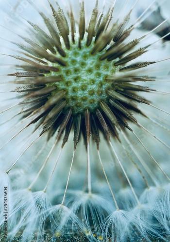 dandelion flower plant - 254375604