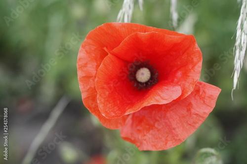 field of poppy - 254378068