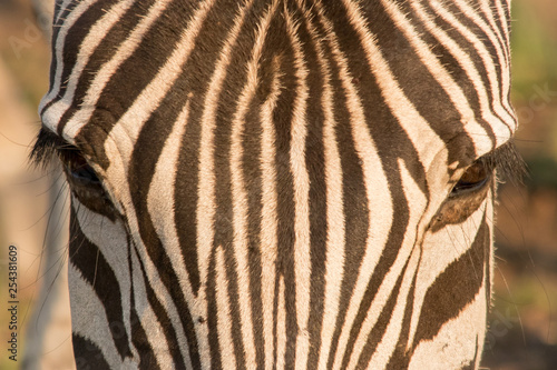 Zebra and his stripes - 254381609