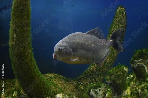 obraz PCV Ordinary piranhas are a species of predatory radiant fish from the subfamily piranhive