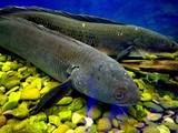 Aquarium fish Snakehead