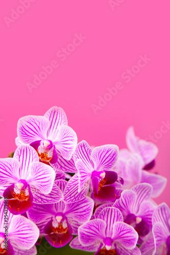 Beautiful pink orchid closeup.