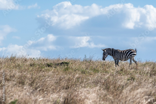 Zebras looking up for predators while feeding grass in Maasai Mara - 254401671