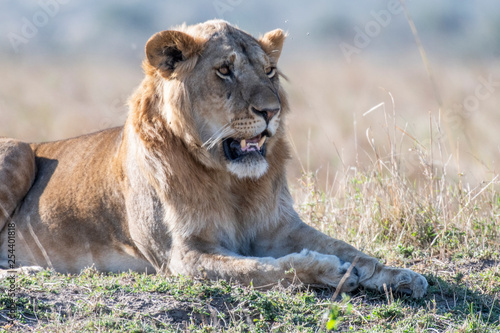 Big male lion resting in daytime in Maasai Mara